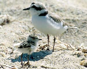 Western Snowy Plover Chick